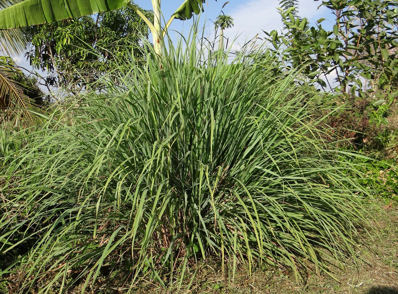 Citrongræsplante (Lemongrass)